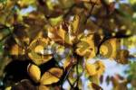 Thumbnail Beech leaves Fagus, autumn colours