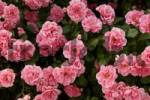 Thumbnail Pink Rose Rosa flowers