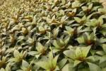 Thumbnail balcony plant Impatiens Paradise