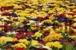 Thumbnail primrose in a gardening