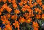 Thumbnail Tulips Tulipa, Keukenhof, Holland, Netherlands, Europe