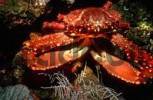 Thumbnail West Indian Spider Crab or Channel Clinging Crab Mithrax spinosissimus, Honduras, Caribbean