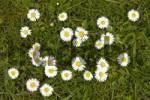 Thumbnail Lawn Daisies Bellis perennis