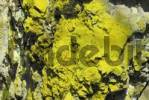 Thumbnail Sulphur Lichen Chrysotrix chlorina growing on on quartz rock, Pfahl, quartz dyke, Bayerischer Wald, Bavarian Forest, Lower Bavaria, Germany