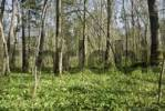 Thumbnail Riverside forest floor covered in leaves from Wild Garlic, Wood Garlic or Bears Garlic Allium ursinum in spring, alpine upland, Bavaria, Germany, Europe