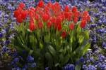 Thumbnail Flowering tulips Tulipa surrounded by Heartsease Viola tricolor, Bamberg, Upper Franconia, Bavaria, Germany, Europe