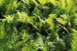 Thumbnail fern