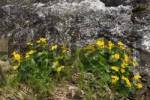 Thumbnail Marsh Marigold, Kingcup Caltha palustris growing by a creek near Schoefweg, Bayerischer Wald, Bavarian Forest, Bavaria, Germany, Europe