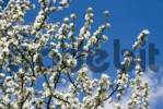 Thumbnail Apple blossoms Malus