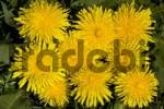 Thumbnail Common Dandelion Taraxacum officinale in bloom, medicinal plant