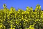 Thumbnail Rape, Canola Brassica napus in bloom, Schleswig-Holstein, Germany, Europe