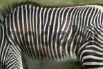 Thumbnail Grevys Zebra Equus grevyi, Salzburg Zoo, Austria, Europe