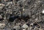 Thumbnail European Mole Cricket Gryllotalpa gryllotalpa, Schwaz, Tyrol, Austria, Europe