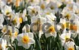 Thumbnail Daffodils Narcissus