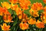 Thumbnail Orange tulips Tulipa, diagonal
