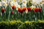 Thumbnail Orange tulips Tulipa and daffodils Narcissus with a green hedge in front