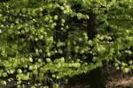 Thumbnail European Beech or Common Beech Fagus sylvatica foliage in spring