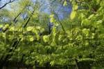 Thumbnail European Beech or Common Beech Fagus sylvatica foliage in spring