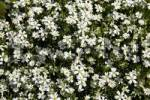 Thumbnail Flowering Greater Stitchwort Stellaria holostea, Schleswig-Holstein, Germany, Europe