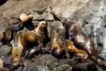 Thumbnail Colony of Steller Sea Lions Eumetopias jubatus, Prince William Sound, Alaska, USA