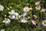 Thumbnail Daisies Bellis perennis on a meadow in spring