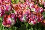Thumbnail Flowering tulips Tulipa spec.