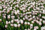 Thumbnail White Tulips Tulips, Ice Follies cultivar, variety