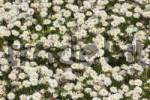 Thumbnail Common Daisy or Lawn Daisy Bellis perennis