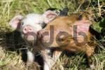 Thumbnail Piglets Sus scrofa domestica, on an organic farm