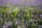 Thumbnail Field of Chives Allium schoenoprasum, Voels, Tyrol, Austria, Europe