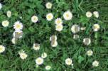 Thumbnail daisy