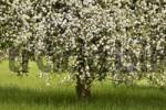 Thumbnail Blossoming Apple Tree Malus domestica