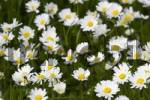 Thumbnail Common Daisies Bellis perennis