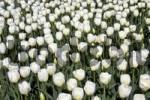 Thumbnail Blooming white Tulips Tulipa cultivar, species Silent Peace