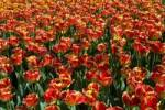 Thumbnail Red-yellow Darwin-Hybrid-Tulips, Tulipa cultivar, species Banja Luka