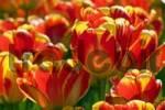 Thumbnail Red-yellow Darwin-Hybrid-Tulips Tulipa cultivar, species Banja Laka
