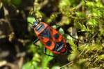 Thumbnail Firebug Pyrrhocoris apterus