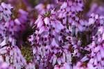 Thumbnail Scots Heather Calluna vulgaris