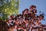 Thumbnail Japanese Maple Acer palmatum