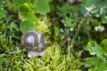 Thumbnail Burgundy Snail, Roman Snail Helix pomatia on moss