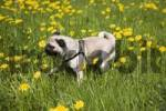 Thumbnail Pug, puppy, meadow, dandelion, walking