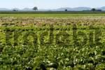 Thumbnail Lettuce field, Pfaelzer Wald, Palatinate Forest, Haardtrand, Southern Palatinate, Rhineland-Palatinate, Germany, Europe