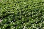Thumbnail Lettuce field, Southern Palatinate, Rhineland-Palatinate, Germany, Europe