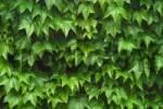 Thumbnail Wild Vine Parthenocissus tricuspidata