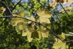 Thumbnail New maple leaves Acer pseudoplatanus, backlit