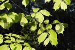 Thumbnail European White, Fluttering or Spreading Elm Ulmus laevis, freshly sprouted leaves
