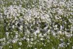 Thumbnail Meadow of dandelion clocks, blowballs Taraxacum officinale, seed heads