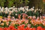 Thumbnail Tulips Tulipa, Keukenhof, Holland, Netherlands, Europe