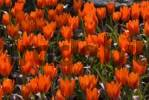 Thumbnail Orange Tulips Tulipa, Keukenhof, Holland, Netherlands, Europe