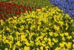 Thumbnail Colourful flowerbeds, Keukenhof, Holland, Netherlands, Europe